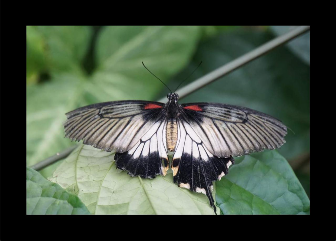 Butterfly with black border